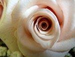 biały kiwatek